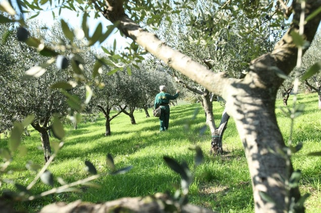 Finding the Best Olive Oil: Olive Groves in Veneto, Italy (the source of olives for Jovial's Extra Virgin Olive Oil)