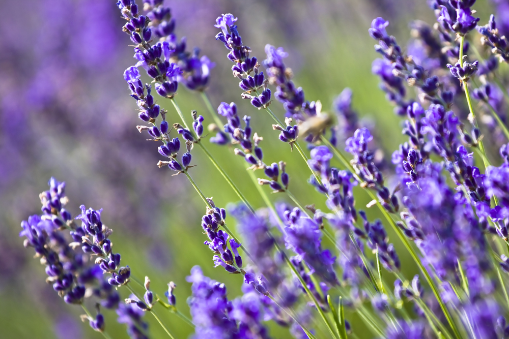 Want to start using essential oils? Read this first! A field of lavender