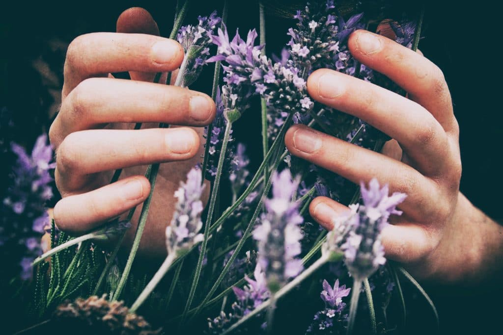 Want to start using essential oils? Read this first! Lavender being touched by two hands
