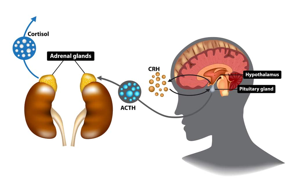 Illustration of how the HPA axis causes adrenal glands to release cortisol